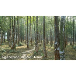 The distribution of Agarwood in Viet Nam